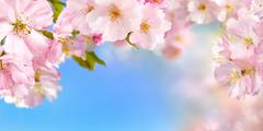 Cherry blossoms background - stock photo