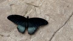 Great Mormon Butterfly, Male Stock Footage