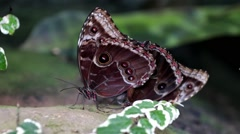 Pair of Common Blue Morpho Butterflies Mating Stock Footage