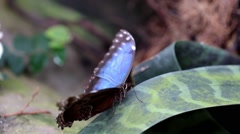 Common Blue Morpho Butterfly Stock Footage