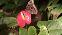 Stock Video Footage of Common Blue Morpho Butterfly on Anthurium