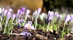 Crocus Flowers in Spring Stock Footage