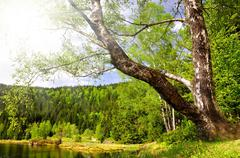 Birch at the Small Arber Lake - stock photo