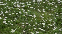 Common Daisy, several daisies (Bellis perennis) in a field Stock Footage