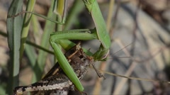 Praying mantis  is eating a grasshopper in the grass (close-up) Stock Footage