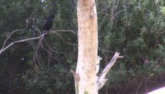Ravens harrass cat in tree - stock footage