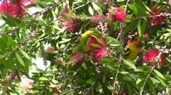 Beautiful Male Western Tanagers in Bottlebrush Tree Stock Footage