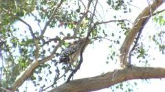 V09671 Scrub Jay harrassing Coopers Hawk in Tree Stock Footage