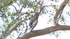 V09670 Scrub Jay harrassing Coopers Hawk in Tree Stock Footage