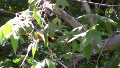 Male Hooded Oriole foraging in Sycamore (catches caterpillar) Stock Footage