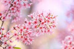 Sakura cherry blossom flowers Stock Photos