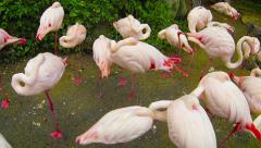 Pink Flamingos at a Park in Thailand Stock Footage