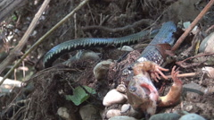 Snake swallow slowly a dead frog. Wild animals in natural environment. Arkistovideo
