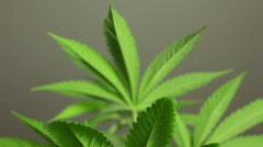 Cannabis plant detail Stock Footage