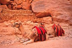 Camel sitting on a desert land Stock Photos