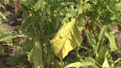 Tobacco leaf in a field Stock Footage