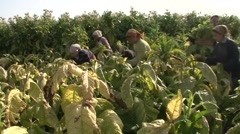 Women harvested tobacco Stock Footage