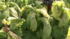 Women harvested tobacco in the field zoom out Stock Footage