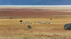 Herd of goats grazing in patagonian farmland Stock Footage