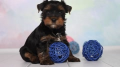 Yorkshire terrier puppy Stock Footage