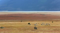 Herd of goats grazing in patagonian farmland - stock footage