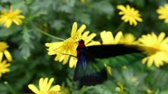 Trogonoptera Brookiana  butterfly Stock Footage