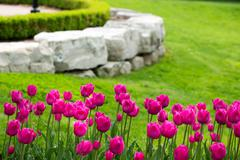 Display of colorful magenta tulips - stock photo