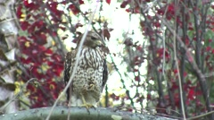 V08544 Cooper's Hawk Good - on one foot stare and look around Stock Footage