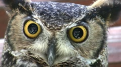 Amazing Great Horned Owl Super Close-Up face shot HD Stock Footage
