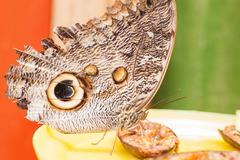 Owl Butterfly In Amazon Rainforest - stock photo