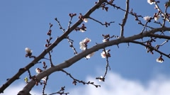Apricot blossoms in blue sky Stock Footage