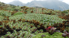 Stock Video Footage of Prostrate cushion plants growing at high altitude on the paramo in Ecuador