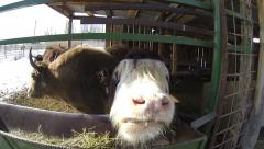 Yaks feed in the paddock - stock footage