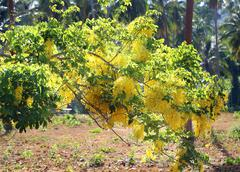 branch with yellow tassels acacia - stock photo