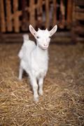 Little goat Stock Photos