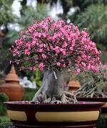 flowering bonsai tree - stock photo