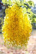 bunch of beautiful exotic yellow acacia - stock photo