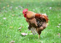 Beautiful cock Stock Photos