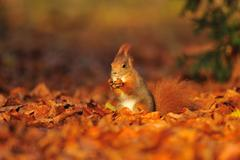 Red squirrel with hazelnut on red and orange fallen leafs Stock Photos
