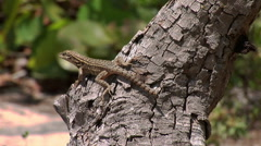Lizard on a tree in Lucayan National Park on Grand Bahama Stock Footage