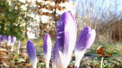 First crocus after winter Stock Footage