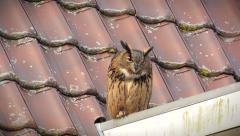 Eurasian eagle-owl (Bubo bubo) Stock Footage