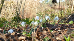 first snowdrops after winter - stock footage