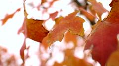 Orange Fall Leaves Close Up - stock footage