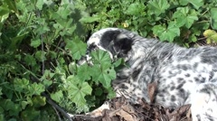 Patchy dog eats grass 2 Stock Footage