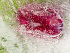 Fragile red tulip in the ice Stock Photos