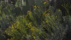 4K Blooming Arizona Desert Brittlebush Yellow Flowers Close Up Stock Footage
