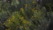 Stock Video Footage of 4K Blooming Arizona Desert Brittlebush Yellow Flowers Close Up