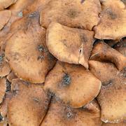 Russet mushrooms. - stock photo