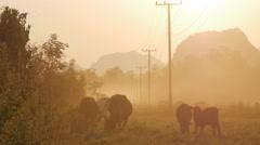 Cows grazing at sunset,Vang Vieng,Laos Stock Footage